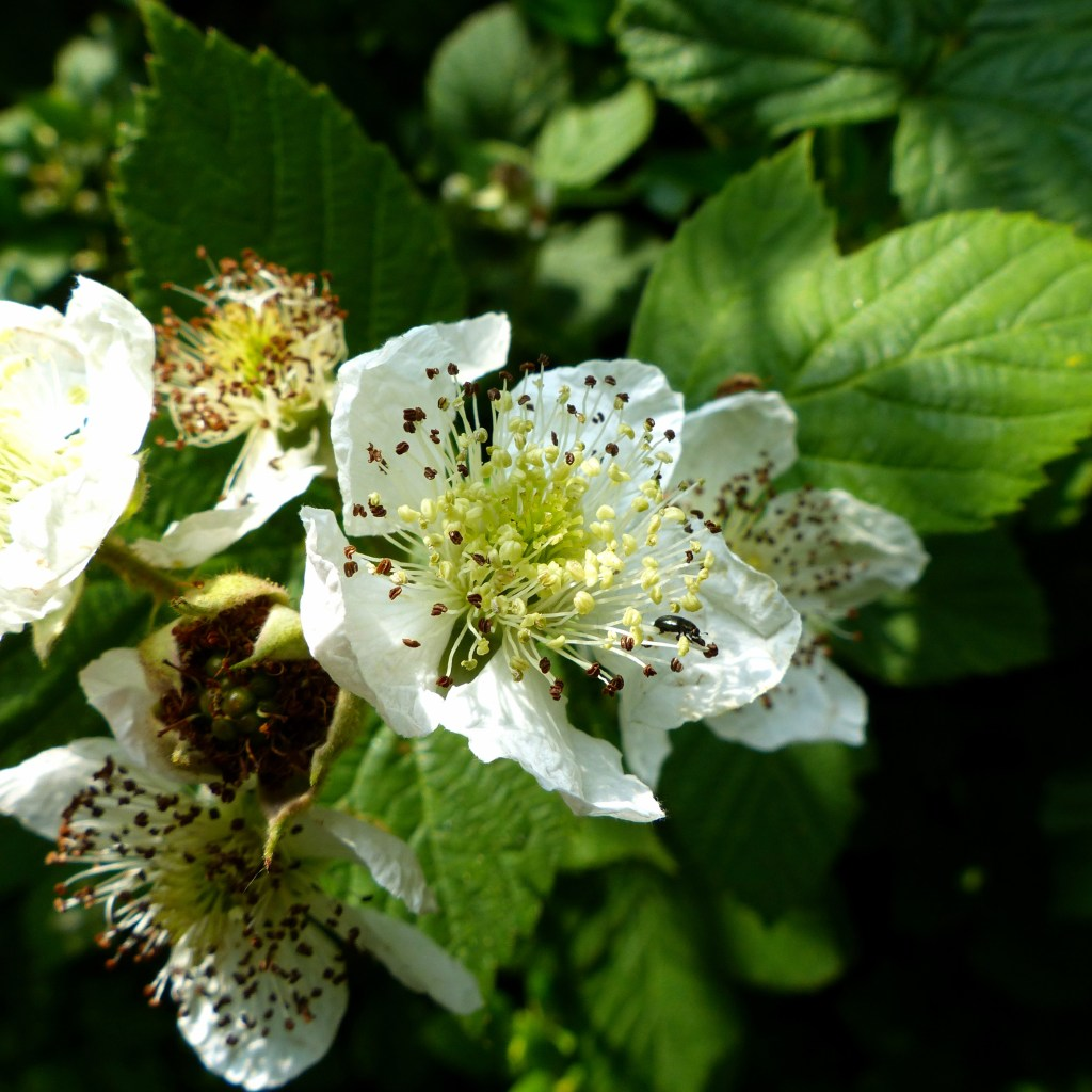 White bramble flowers with green leaves close-up