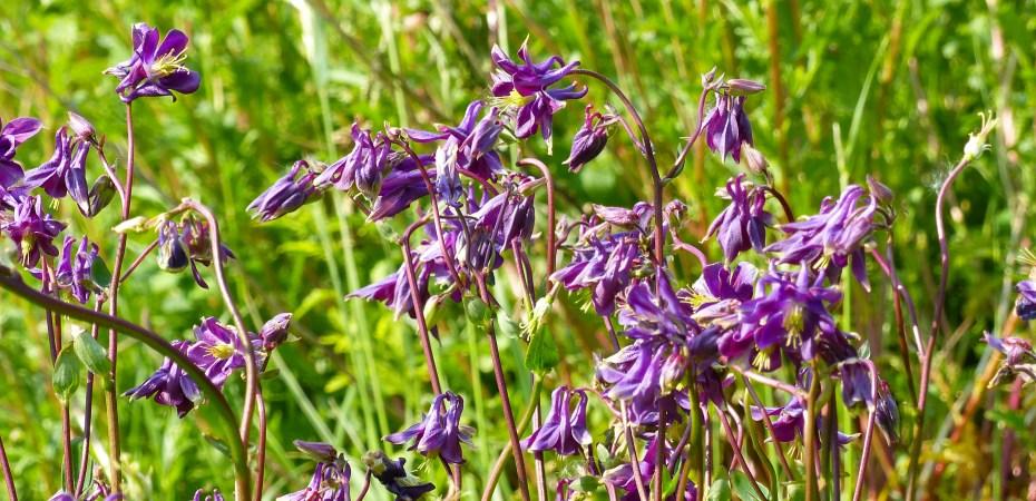 Purple Columbine flowers on green background