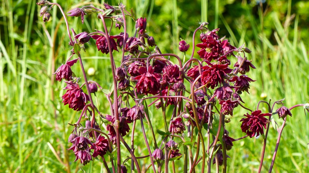 Red Columbine flowers against grass