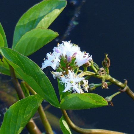 White Bogbean flowers with fringed petals
