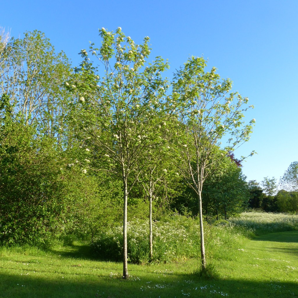 Three young Rowan trees flowering in a village nature reserve