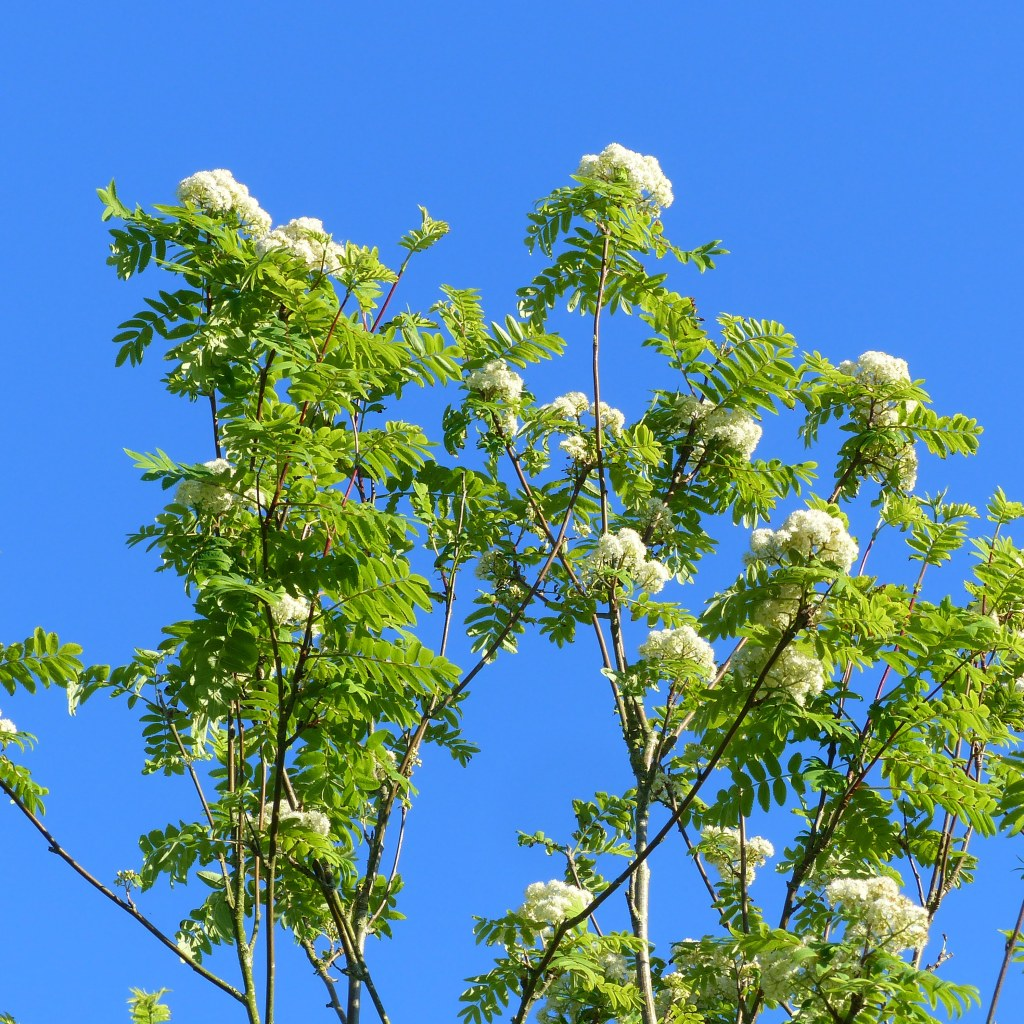 White flowers and green leaves on slender branches of a Rowan tree against a blue sky