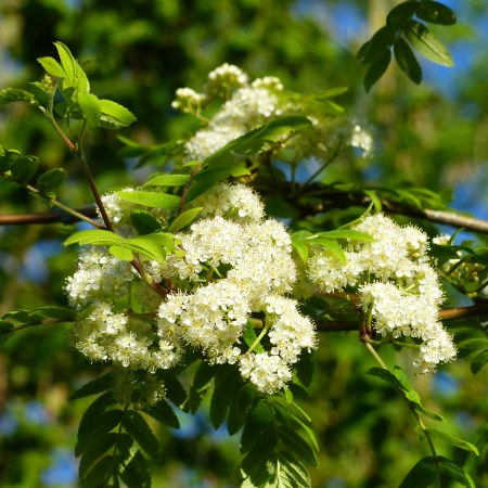 Creamy-white flowers and green leaves of a Rowan or Mountain Ash tree