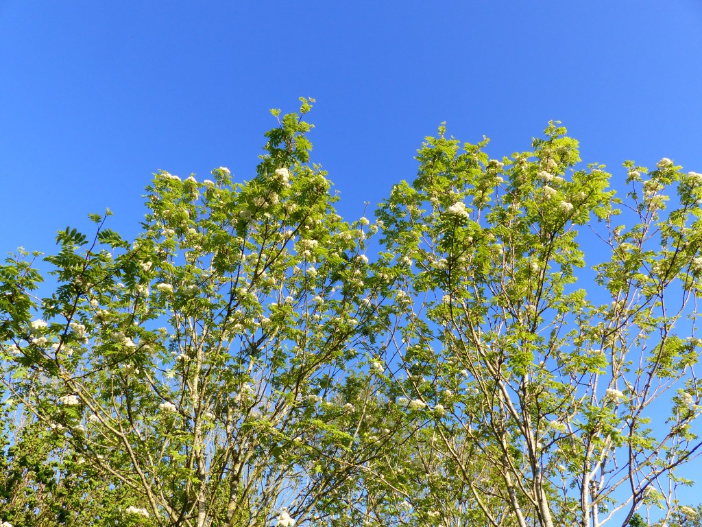 Creamy-white flowers and green leaves of a Rowan or Mountain Ash tree against a blue sky
