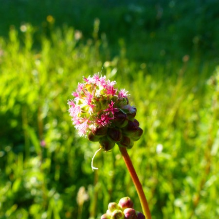 Salad Burnet with tiny green flowers and red styles in a chalk meadow