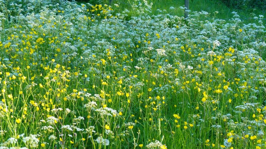 Yellow and white wild flowers in Dorset