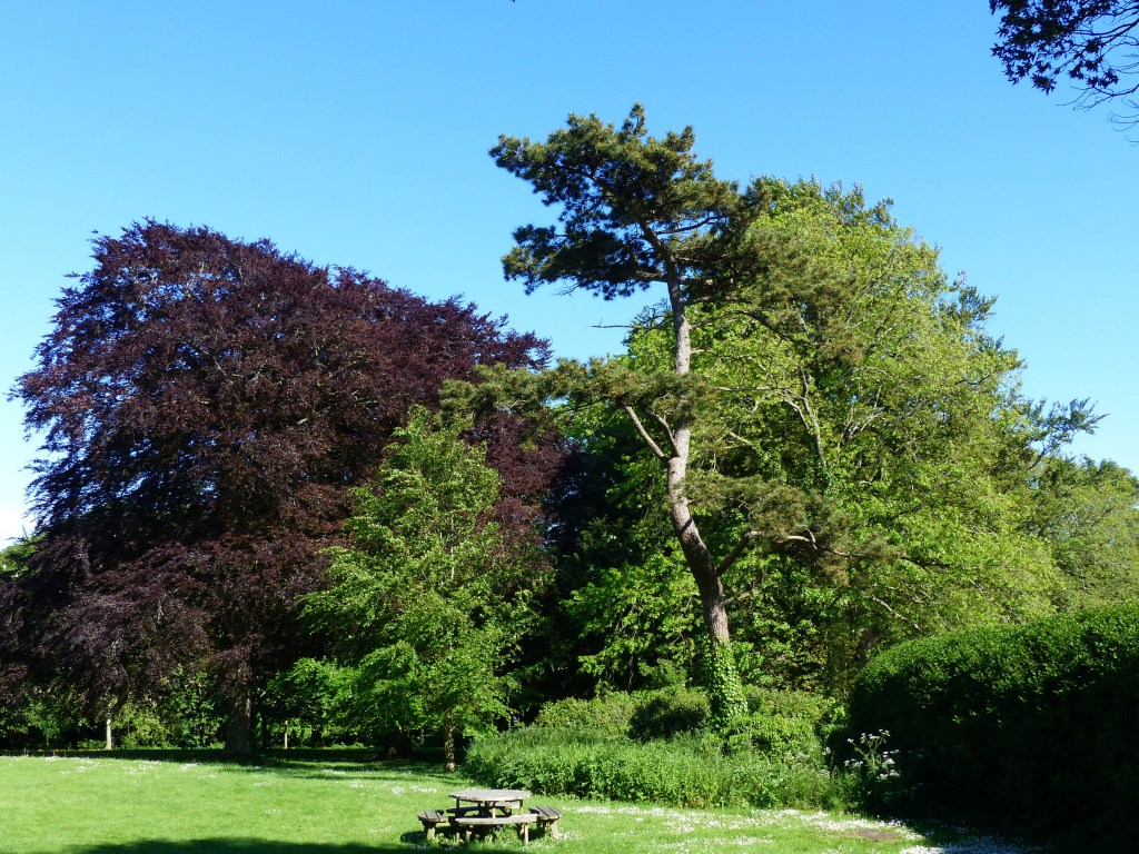 Scots Pine (Pinus sylvestris) with copper beech, lime trees, lawn and picnic table