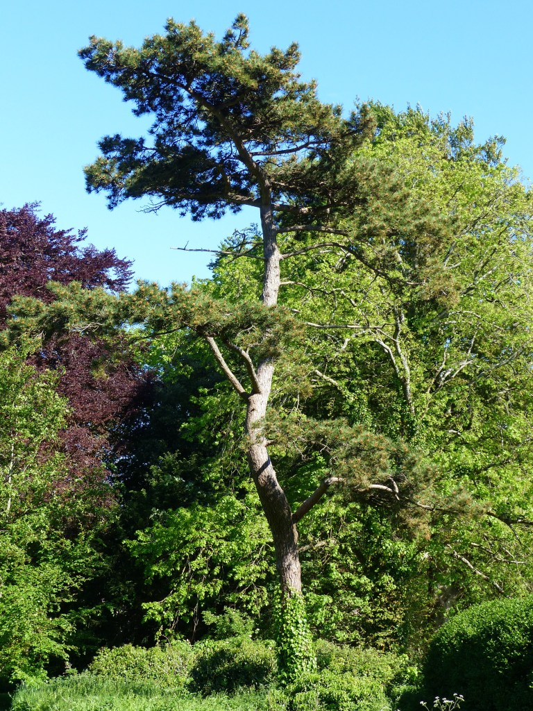 Scots pine tree in May