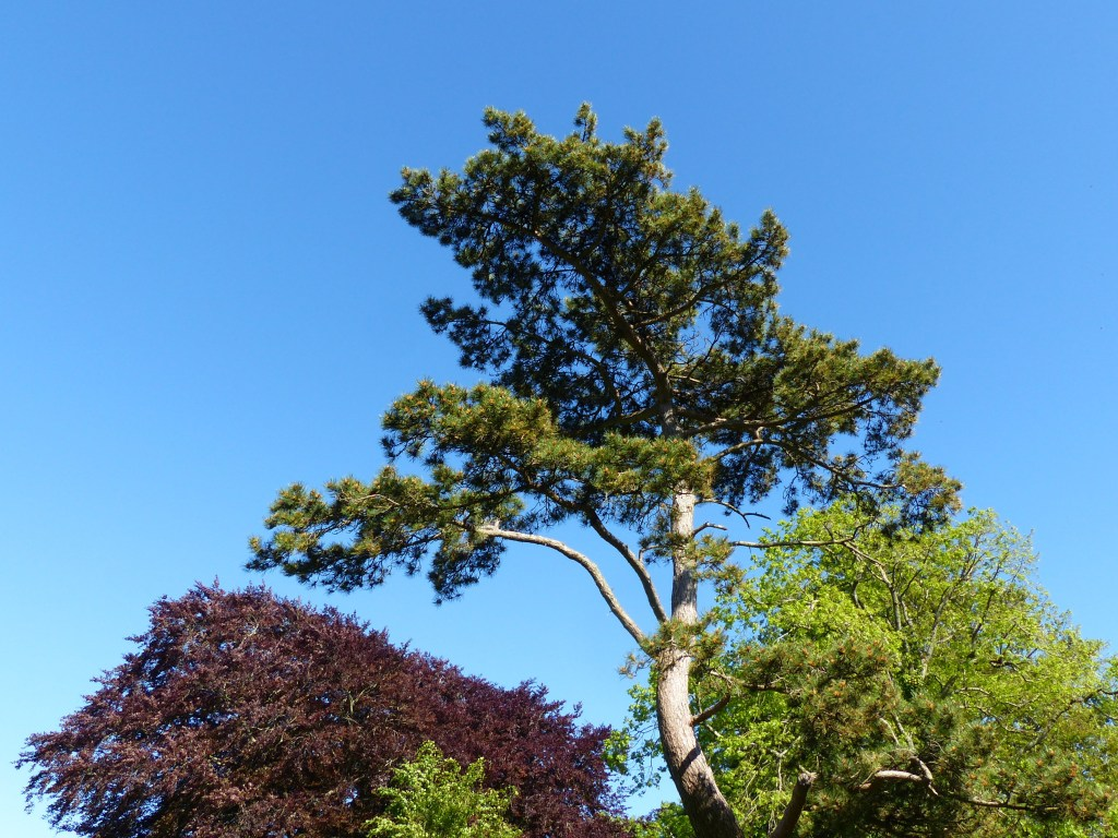 Top of Scots Pine tree with copper beech and lime tree and blue sky