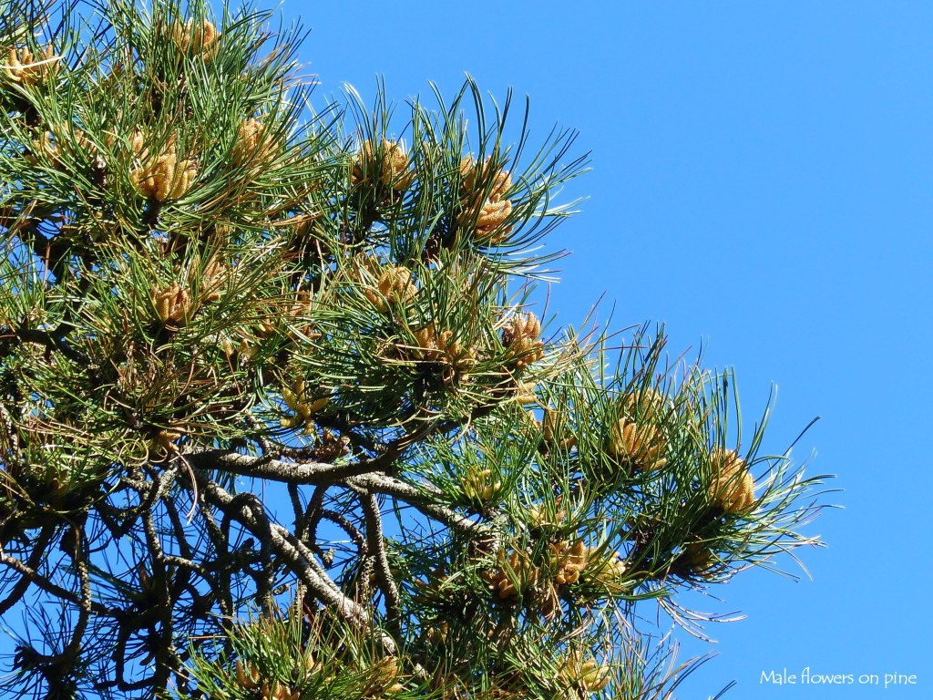 Male flowers and needles on Scots Pine against blue sky
