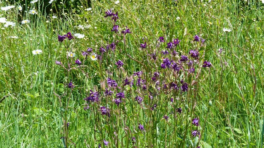 Purple Columbine flowers with grass and oxeye daisies grass