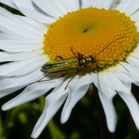Oxeye daisy with green beetle