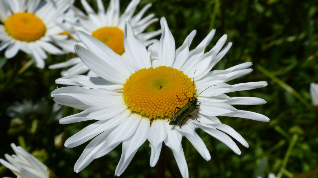 White petals and yellow centre of Oxeye daisy flower with beetle