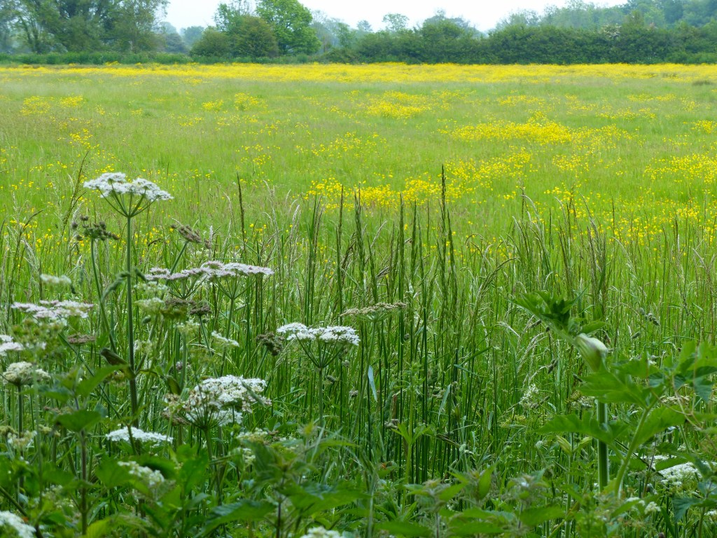 Meadow full of buttercups with tall grasses and white flowers