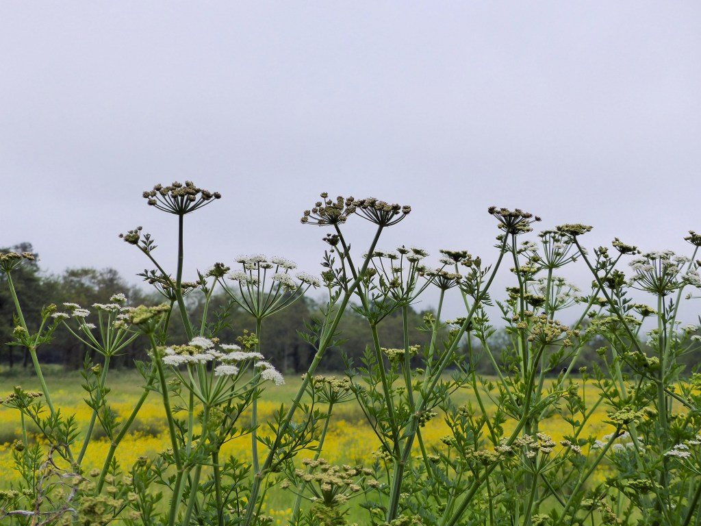 Hogweed flowers on the edge of a field full of buttercups