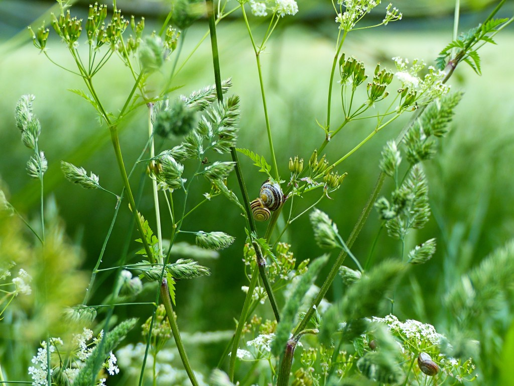 Banded snails on Cow Parsley in a water meadow