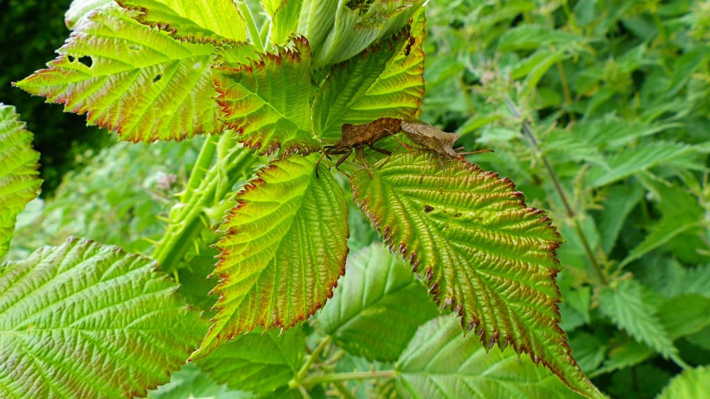 Mating Dock Bugs on bramble leaves