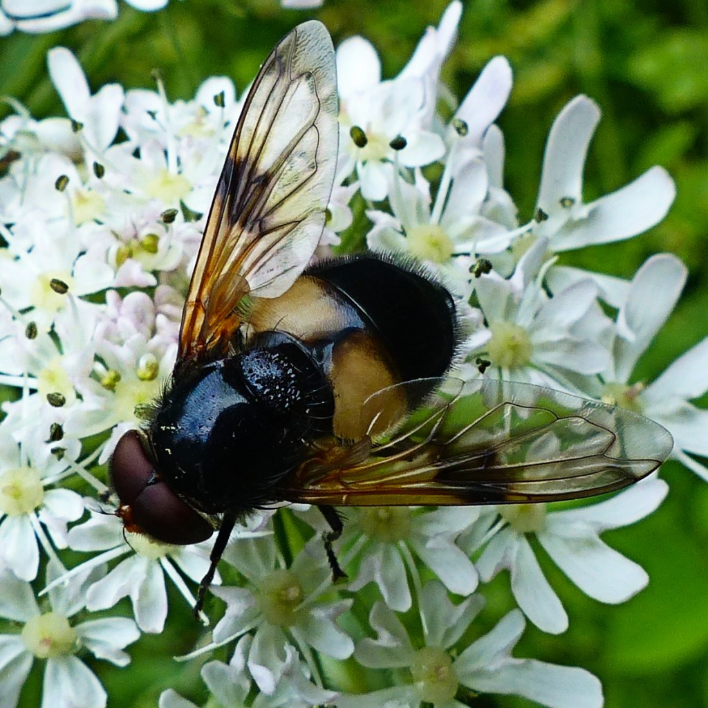 Pellucid Hoverfly insect on white umbelliferous flowers