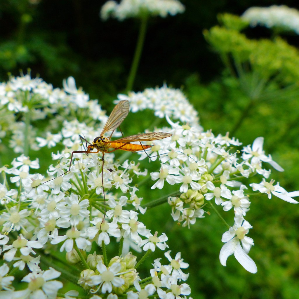 Tiger Cranefly insect on white hogweed flowers