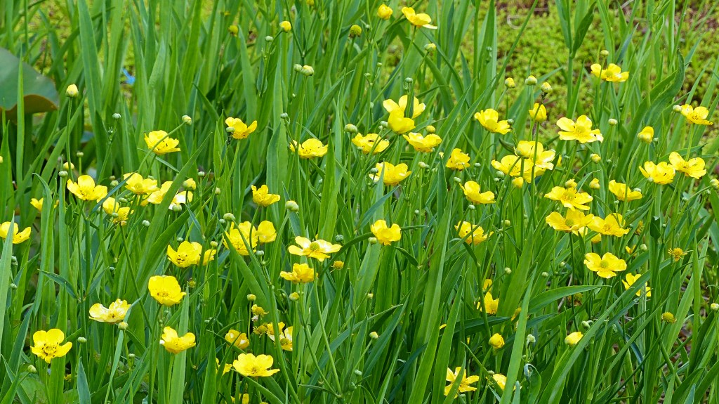 Yellow flowers and green leaves of Greater Spearwort on the edge of a pond
