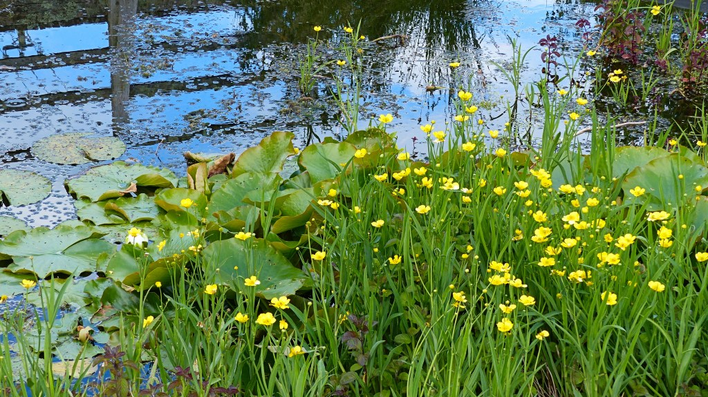 Yellow flowers of Greater Spearwort on the edge of a pond with lily pads