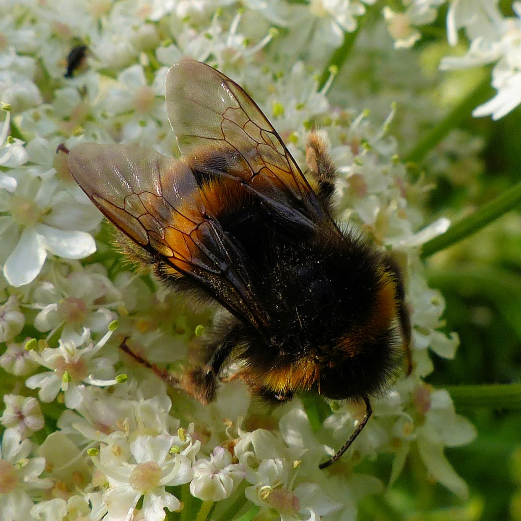 Bumblebee on white flowers with green background