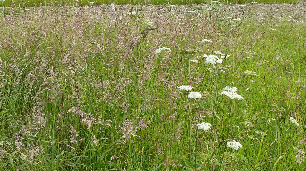 Meadow grasses and flowers at Charlton Down in Dorset