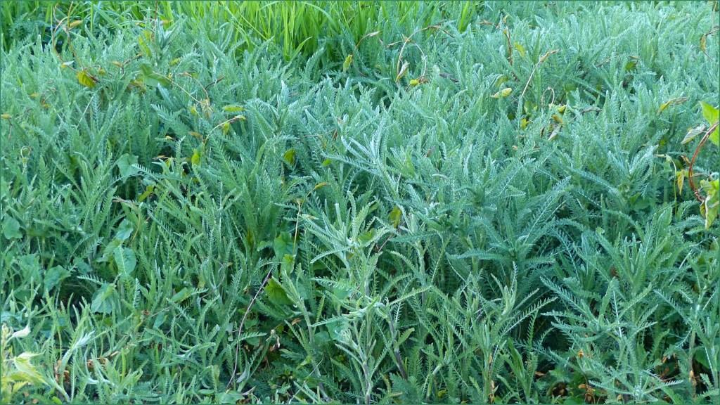 Silvery green ferny leaves of Yarrow