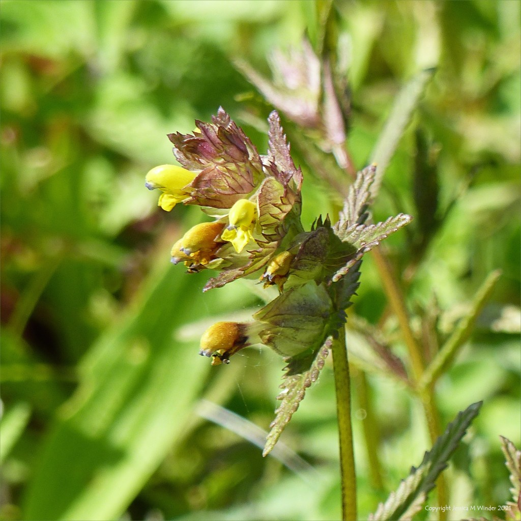 Yellow flowers and green bracts with toothed edges of Yellow Rattle
