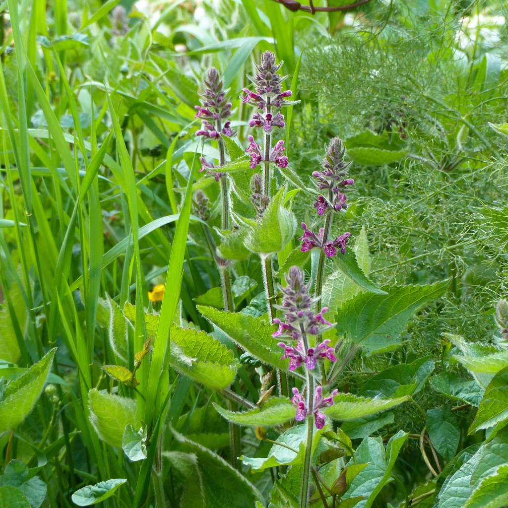 Purple-red flowers and leaves of Hedge Woundwort