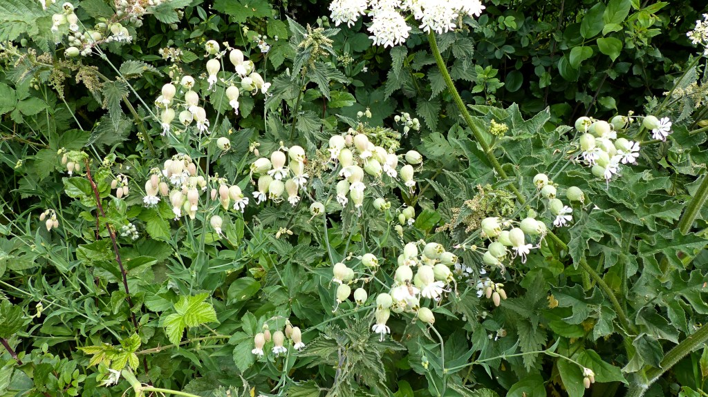 White Bladder Campion flowers in a hedgerow