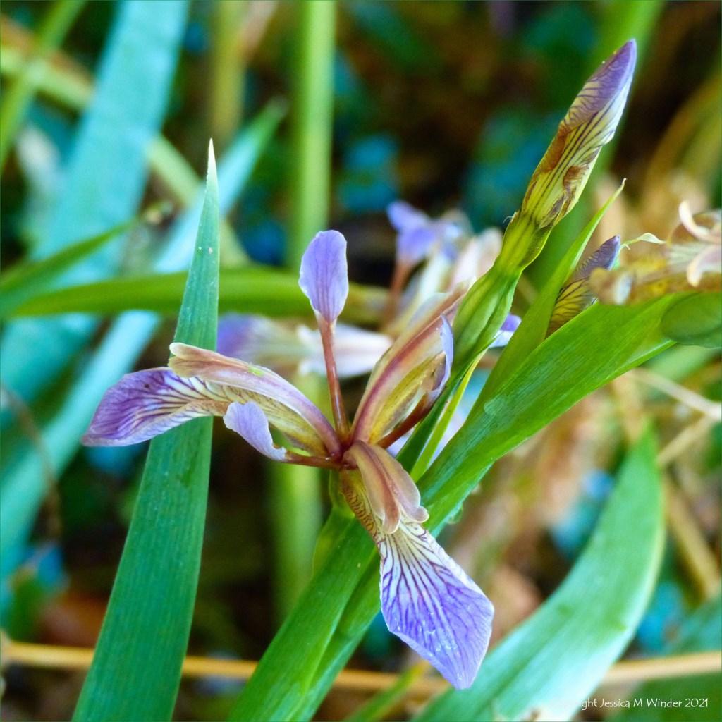 Purple-veined flower of Stinking Iris (Iris foetidissima)