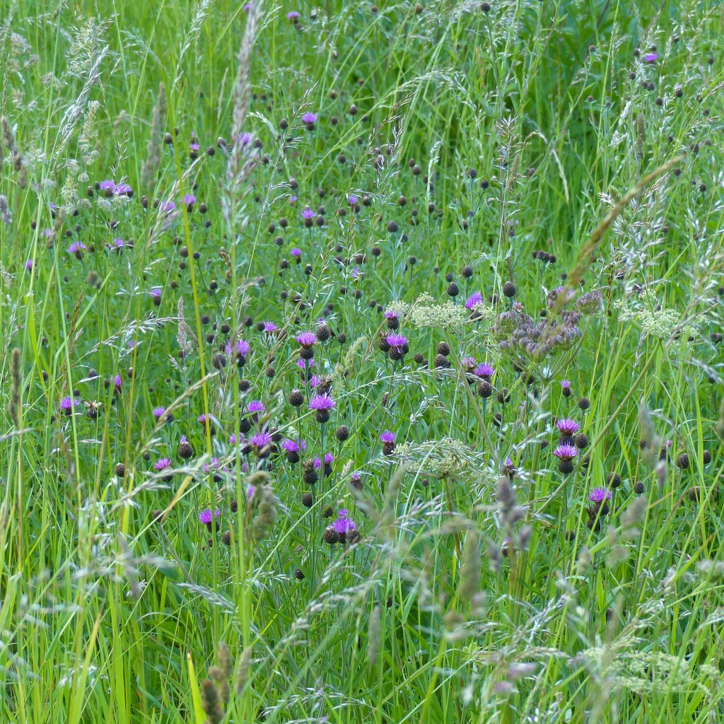 Pink Knapweed flowers and dark buds in tall grasses