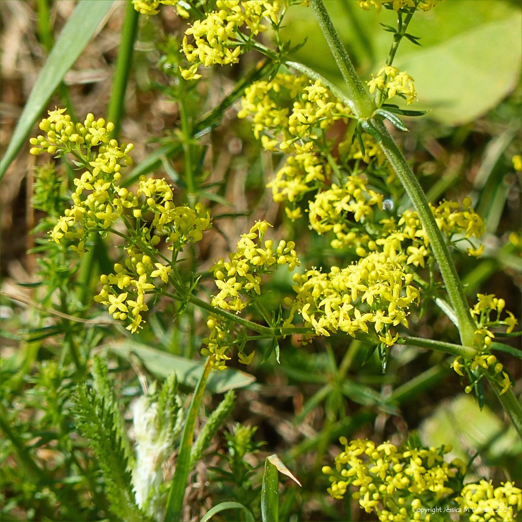 Minute yellow flowers of fragrant Lady's Bedstraw