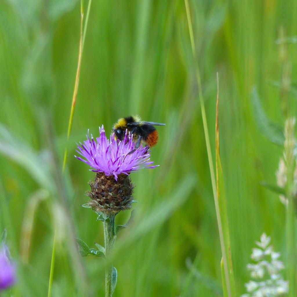 Bee on Knapweed flower