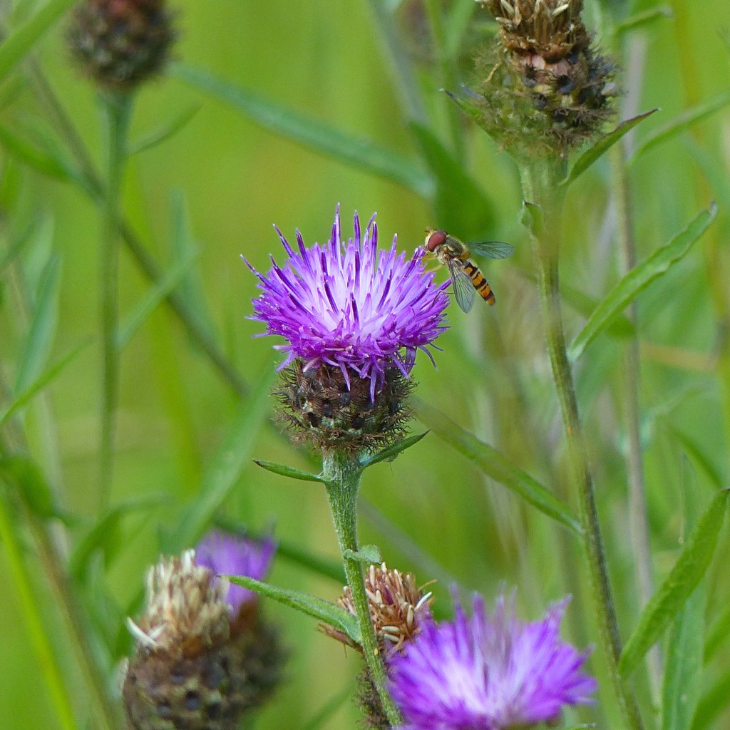 Hoverfly on Knapweed flower