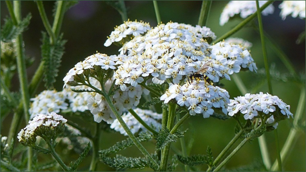 White flowers of Yarrow on a green background