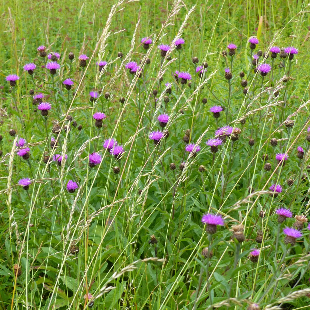 Pink Knapweed flowers and dark buds