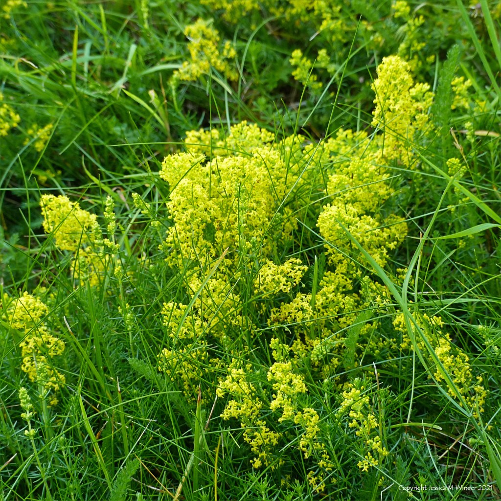Yellow flowers of fragrant Lady's Bedstraw in grass