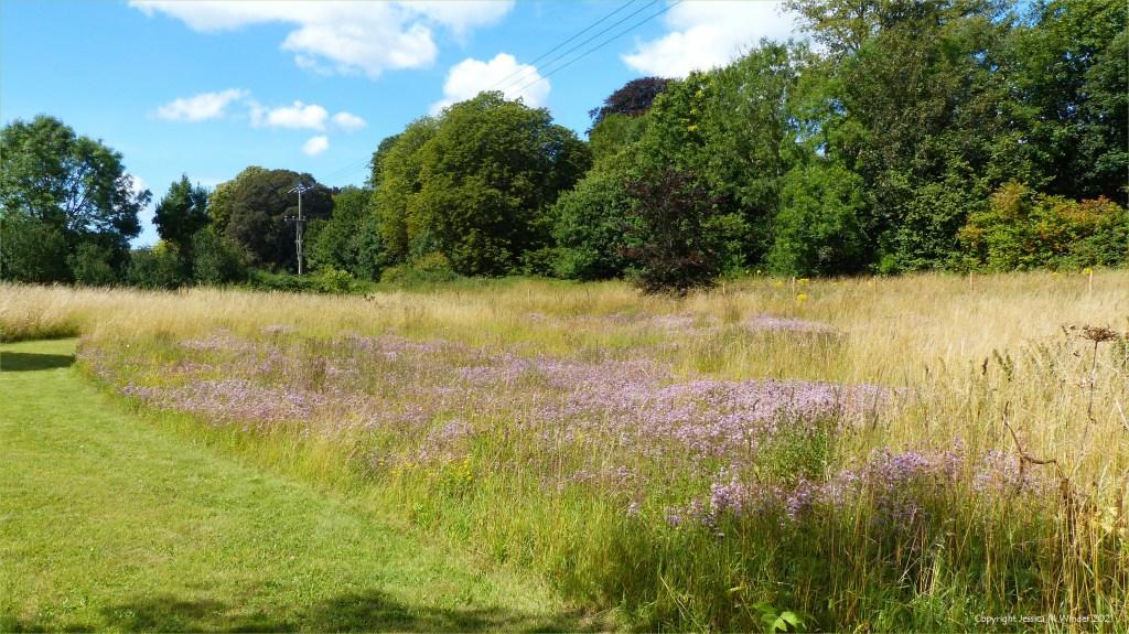 Swathe of pale purple Wild Marjoram flowers in un-mown meadow grass