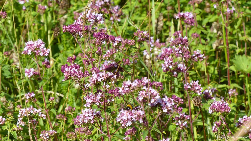 Pale purple pink Wild Marjoram flowers opening from the buds