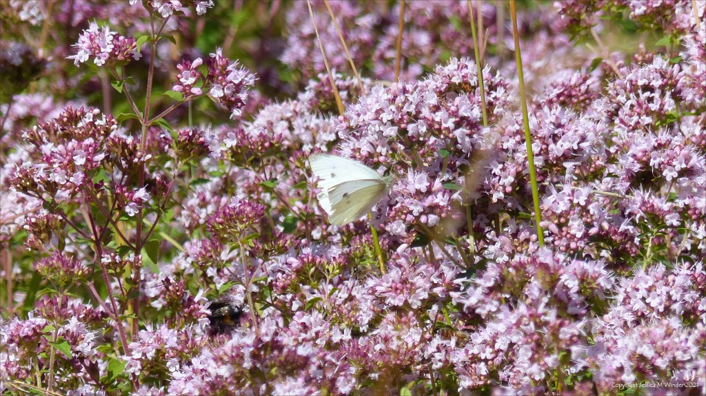 Mass of clustered small purple-pink flower buds of Wild Marjoram with butterfly