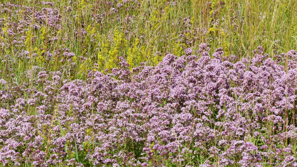 Pale lilac-pink flowers of Wild Marjoram with yellow Lady's Bedstraw in a meadow