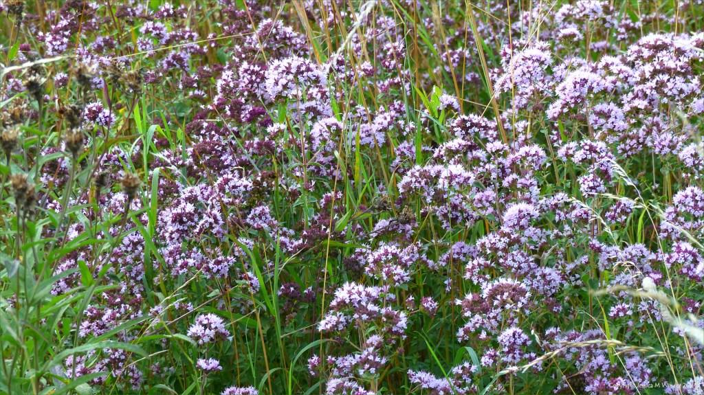 Pale purple-pink flowers of Wild Marjoram in grass
