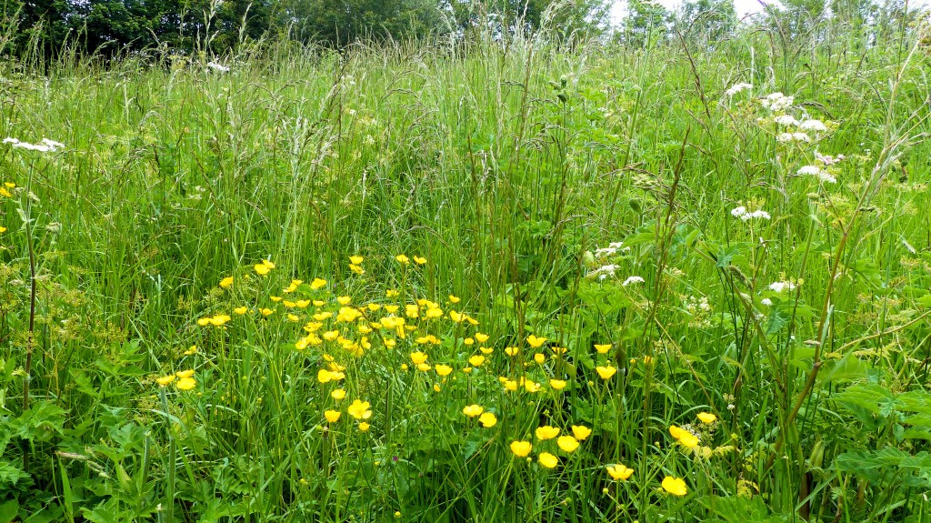 Flowers and grasses in a Dorset meadow
