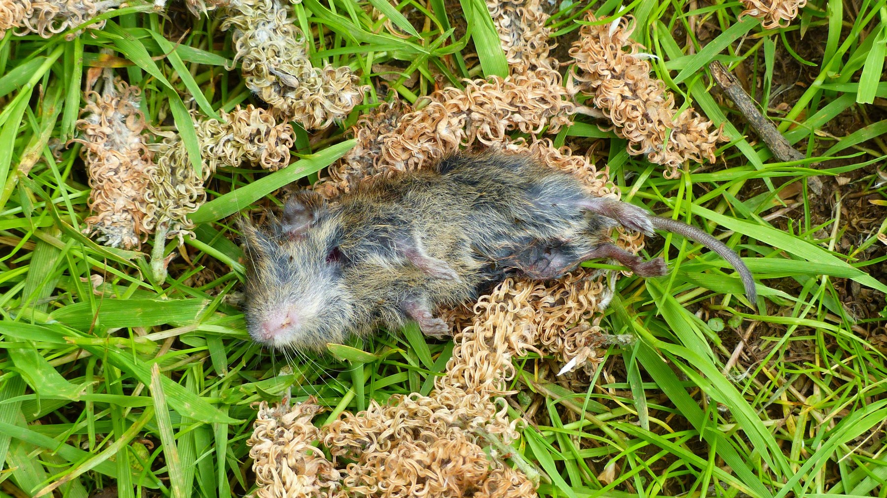 Dead vole, catkins and grass