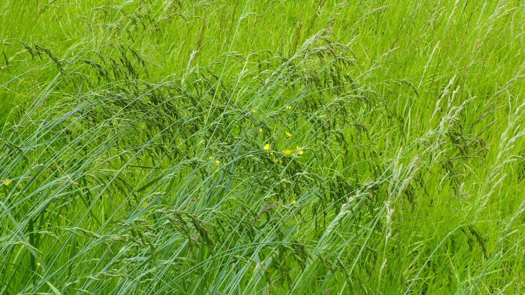 Grasses in a meadow