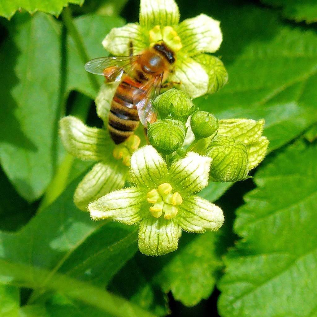 Close up of White Bryony flowers with green veins and hairy petals and bee
