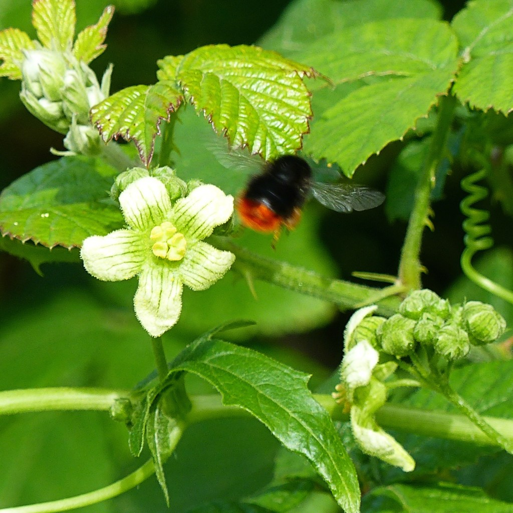 Close up of White Bryony flowers with a red-tailed bumblebee in flight