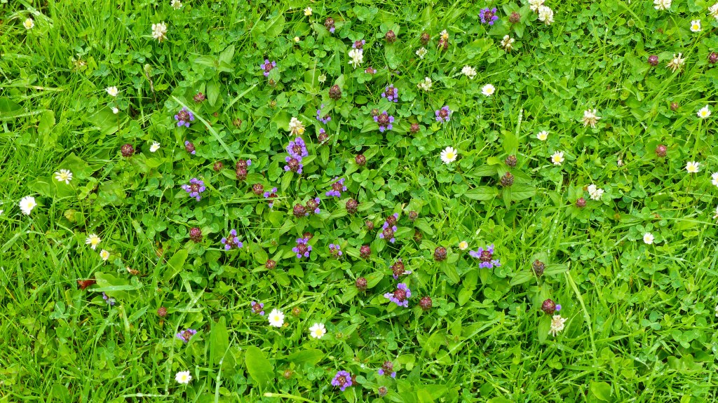 Purple flowers of Selfheal with white daisies and clover in the grass